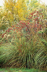 An autumnal grouping of Cortaderia richardii syn C. fulvida with Rosa rubrifolia syn R. glauca at Abbey Dore gardens, Herefordshire