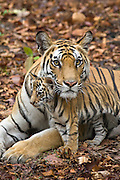 Bengal Tiger<br /> Panthera tigris <br /> Mother and eight week old cub<br /> Bandhavgarh National Park, India