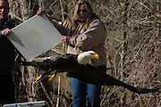 """A bold Eagle was rescued after being seen in distress by a little boy who saw the bird in trees near his home, they alerted the The Friends of Feathered and Fury Wildlife Centre, and The blind and injured eagle was brought to the centre for treatment <br /> <br /> The eagle had lacerations to it's face and eyelid. """"This is why it was not hooded, as is the usual practice, when it was captured"""" said vets at the centre , <br /> <br /> The Eagle was put on the exam table at Friends of the Feathered and Furry Wildlife Center in preparation for blood being drawn, volunteers gently straightened the eagle's bent feathers with light steam.<br /> <br /> The eagle spends two weeks at The Friends of Feathered and Fury Wildlife Center where it receives treatment -- regains its sight and is housed in a special eagle enclosure to keep her stress levels down.<br /> <br /> after rehab the eagle was then taken back to the area it was found and released back in to the wild<br /> ©Exclusivepix Media"""