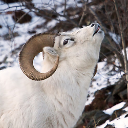 A Dall sheep ram tests the air during mating season.
