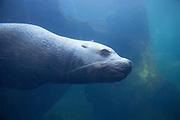 Ett stellers sjöleijon (Steller Sea Lion) från den lokala miljön i  Seward, Alaska. (Alaska SeaLife Center)