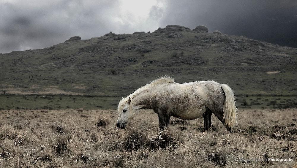 A lone Dartmoor Pony