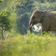 Asian Elephant (Elephas maximus) and flying Cattle Egret in Kui Buri national park, Thailand