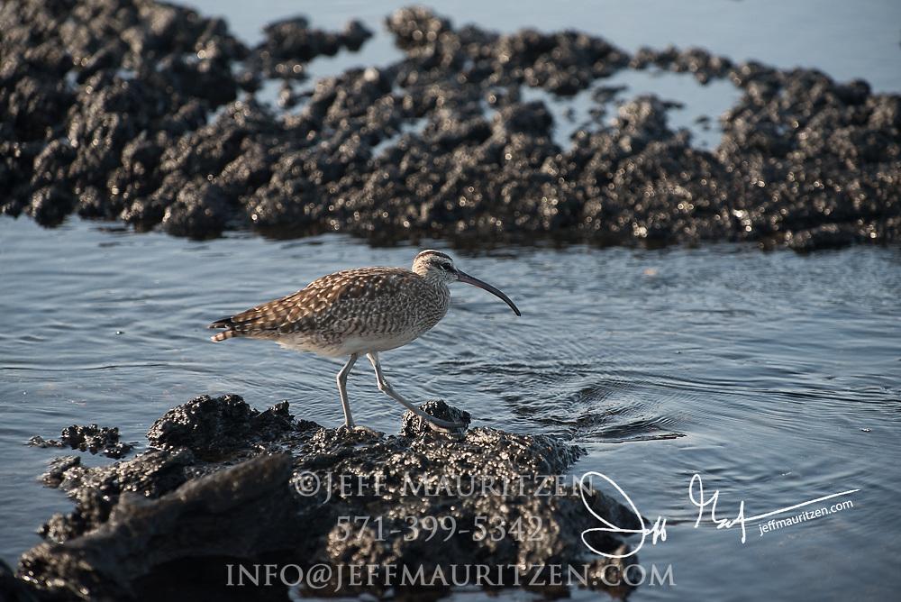 A whimbrel searches for food on Santiago island, Galapagos, Ecuador.
