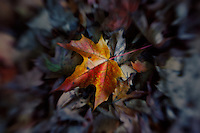 A maple leaf with the last glorious shades of Fall.