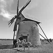 Väderkvarn och föl på Hundlausar vid vägen mellan Burgsvik och Vamlingbo på Sudret, Gotland.