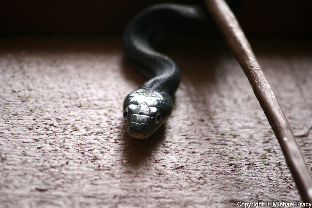Head of a Black Rat Snake on the side of a house