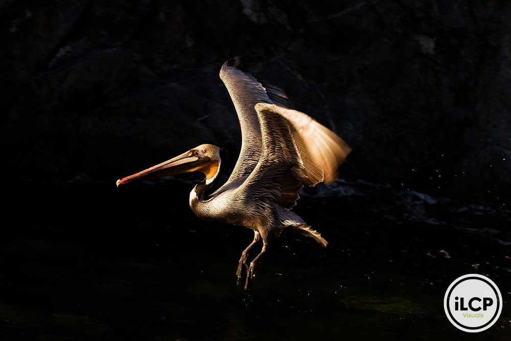 Brown Pelican (Pelecanus occidentalis) taking flight from creek, Big Sur, California