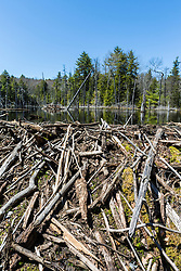 A beaver dam creates a pond near Stonehouse Pond in Barrington, New Hampshire.
