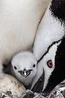 Zügelpinguin mit Jungem, Antarktis