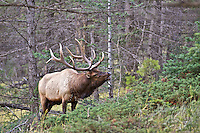 Bull elk bugling in a thick forest