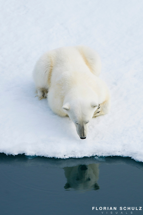 Polar bear looking at his own reflection on the sea ice of the Barents Sea