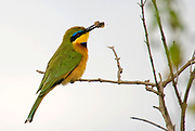 Little Bee-eater, Merops pusillus, from Nairobi NP, Kenya.