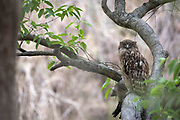 Brown Fish-owl (Ketupa zeylonensis) perched on branch. Corbett National Park. Uttarakhand. India.