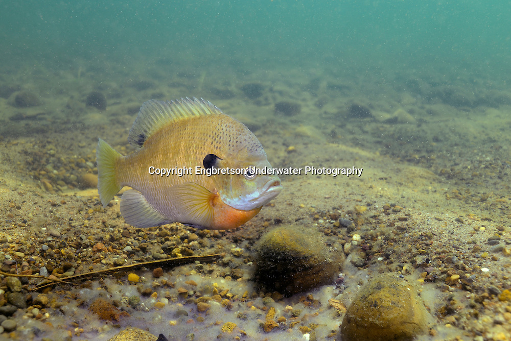 Bluegill over nesting site (with eggs)<br />
