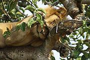 Lion sleeps on a tree. Photographed at the Queen Elizabeth National Park, Ishasha Sector, Uganda