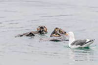 Sea Otters [Enhydra lutris] feeding on shellfish with opportunistic Western Gull waiting for scraps; Morro Bay, CA