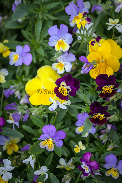 Viola cornuta - Four Seasons Formula Mixture - horned pansy