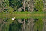 American white pelican (Pelecanus erythrorhynchos) <br />Duck Mountain Provincial Park<br />Manitoba<br />Canada