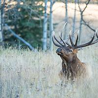bull elk bugling in grass
