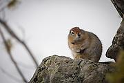 Arctic ground squirrel (Spermophilus<br /> parryii), Denali National Park, Alaska