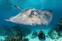 Divers interact with Southern Stingrays at the famous dive site, &quot;Stingray City&quot;<br /> <br /> Shot in Cayman Islands