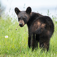A young  black bear (Ursus americanus) feeding on Dandelions in Forillon National Park, Quebec, Canada.