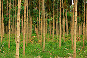 Young trees, Teak plantation, Panamá, Central America