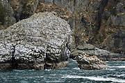 Måsfågeln rissa och stellers sjölejon nära Seward, Alaska, USA.