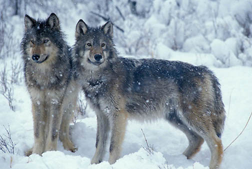 Gray Wolf, (Canis lupus) Portrait of pair. Winter.  Captive Animal.