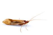 Sedge Caddisfly (Platycentropus sp.)<br /> WISCONSIN: Oneida Co.<br /> 8535 Bo-di lac Rd, Minoqua <br />  45.876839, -89.901170 <br /> 11-June-2014<br /> J.C. Abbott #2666 &amp; K.K. Abbott