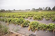 Swanton Berry Strawberry Farm outside Santa Cruz, CA