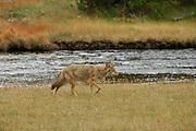 Coyote, River, Hunting, Yellowstone, Yellowstone National Park, Wyoming