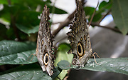 Two Caligo memnon or giant owl butterflies rest on leafs.