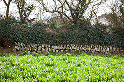 Scilla foliage and dry stone wall at Little Trevean Nursery, Penzance