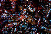 Commercially harvested crayfish from Lake Tahoe near Incline Village, Nevada, July 8, 2012.