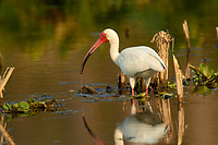 White Ibis (Eudocimus albus), Arthur J Marshall National Wildlife Reserve - Loxahatchee, Florida, USA.    Photo: Peter Llewellyn