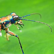 Tiger Beetle (Cosmodela aurulenta juxtata)