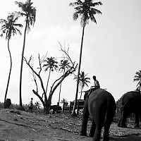 PINNEWALA, OCTOBER-3 : Chandana, a 20 year old mahout, hangs out on his big tusker before he rides to the Ma oya river in Pinnawala, October 3, 2005, Sri Lanka, Chandana is the nephew of legendary mahout K.D. Sumanabanda and has lived in the orphanage for three years. He says he wants to follow in to the footsteps of his uncle.PINNAWELA, OCTOBER-3 : an elephant greets a visitor   in Pinnawela, October 3, 2005, Sri Lanka.   .The Pinnawela orphanage was started in 1975 and initially designed to afford care and protection to the many baby elephants found in the jungle without their mothers. In most cases the mother either had died or been killed. .Animals are allowed to roam freely duringthe day and a herd structure allows to form. there are only a few elephant orphanges worldwide. At Pinnawela an attempt was made to simulate, in a limited way, the conditions in the wild. Currently the herd consists of 75 elephants under the surveillance of legendary  Mahout chief Sumanabanda.