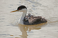 A Western Grebe swims on a marsh in northern Utah late May 2016 waiting for its mate that's fishing for minnows.