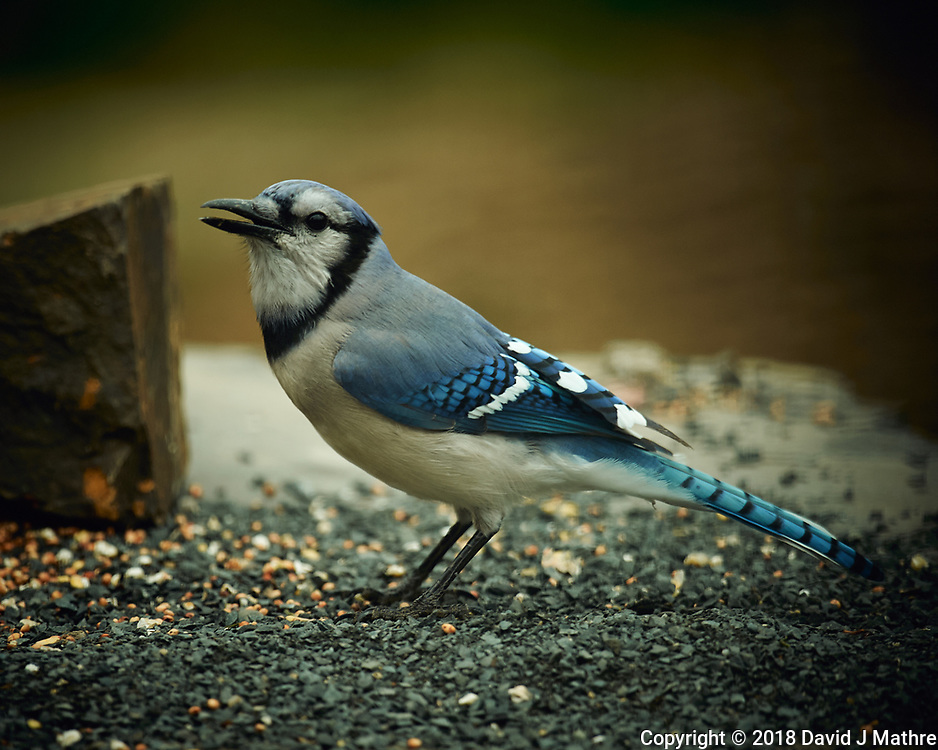 Blue Jay. Image taken with a Nikon D4 camera and 600 mm f/4 VR lens (ISO 400, 600 mm, f/4, 1/400 sec).