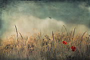 Poppies in a dry field - vintage texture processing<br />