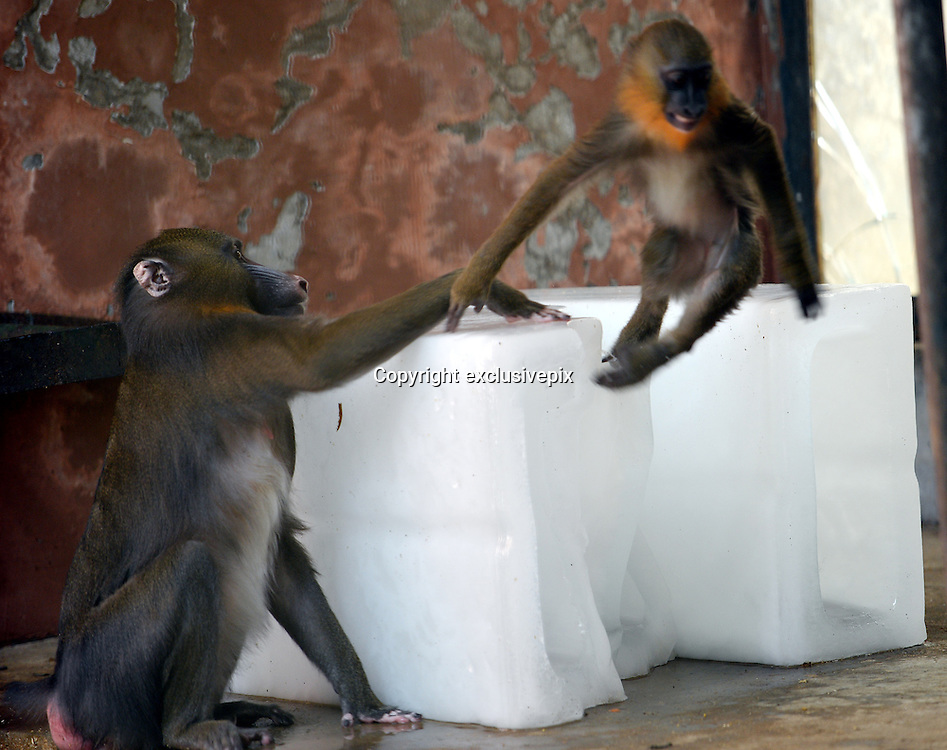 WUHAN, CHINA - AUGUST 06: (CHINA OUT) <br /> <br /> To Keep Cool For Animals During Heat Wave<br /> <br /> Two monkeys sit beside blocks of ice to beat the heat at Wuhan zoo on August 6, 2013 in Wuhan, Hubei Province of China<br /> ©exclusivepix