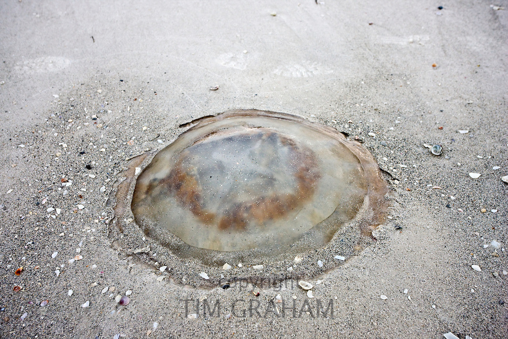 Jellyfish on sandy beach, Anna Maria Island, Florida, United States of America