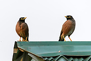 Pair of common myna (Acridotheres tristis) from Kaziranga, Assam, north-east India.