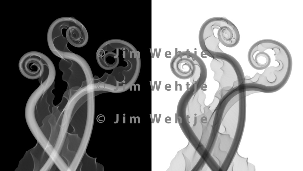 X-ray image of Japanese bird's nest fern fiddleheads (Asplenium nidus, grayscale) by Jim Wehtje, specialist in x-ray art and design images.