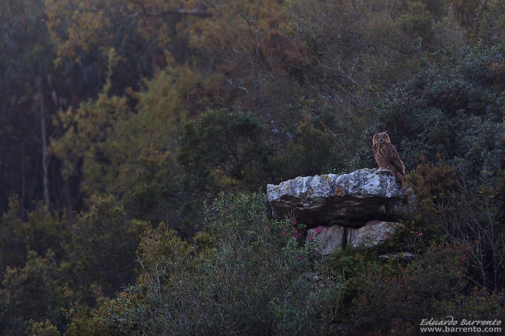 Bufo-real, The Eurasian eagle-owl (Bubo bubo) the biggest owl of Europe. Alcobaça, Portugal.