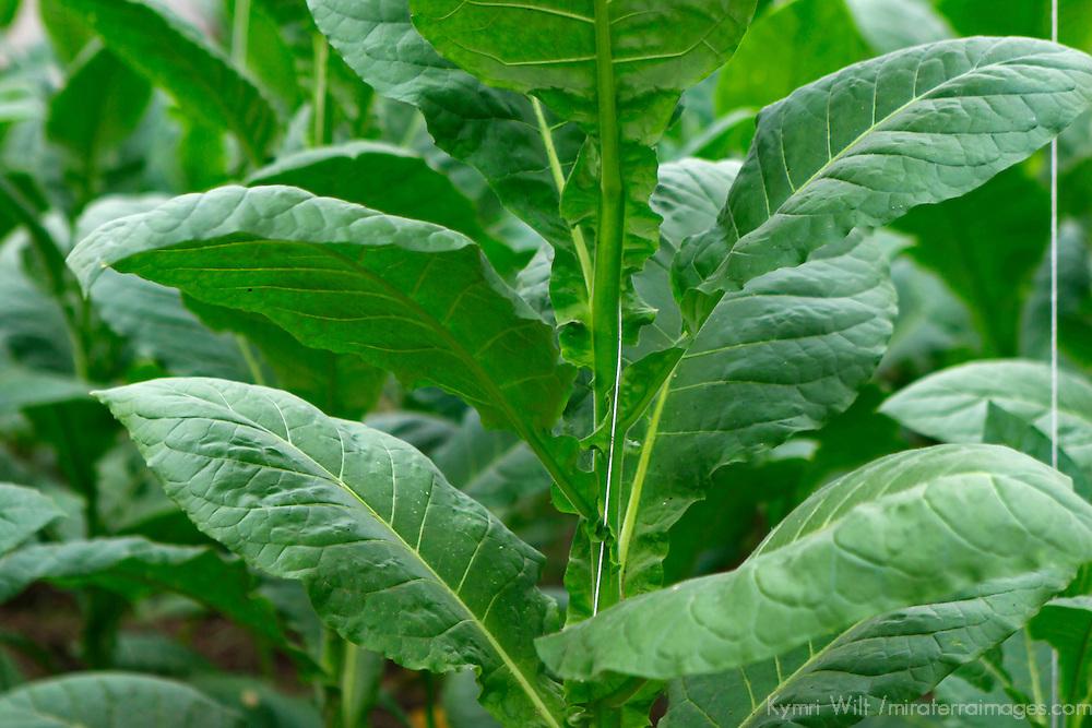 Cnetral America, Cuba, Pinar del Rio, San Luis. Tobacco plant leaves at Finca Robaina plantation.