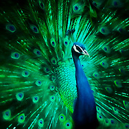 Painterly rendition of a peacock head against his colorful fanned out tail in vibrant blues, teals and greens