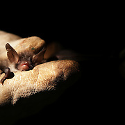 A bat in hand. Wytham woods.